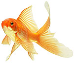 Redfin goldfish