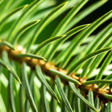 spruce needles at f11