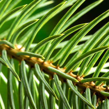 spruce needles at f22